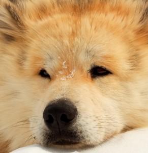 chien chef de meute au repos portrait 2