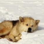 chien chef de meute au reposA_1